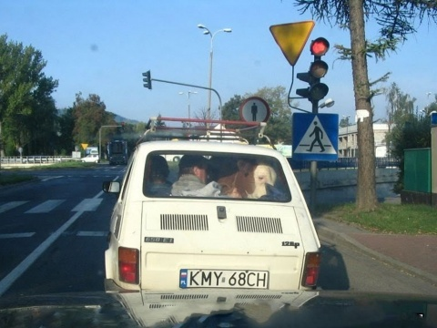 Cow in the small Car
