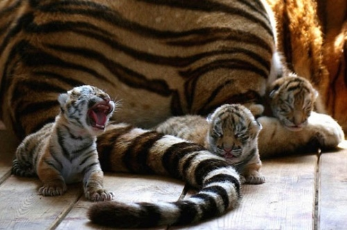Young Tiger Roar