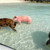 Swimming Pigs @ Staniel Cay, Bahamas