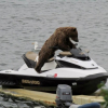 Bear on water scooter